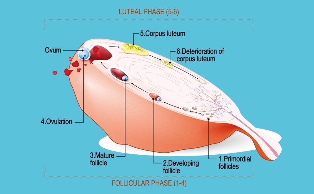 Der Follikel - Wichtiger Grundpfeiler der Schwangerschaft