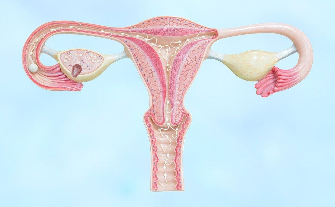 Gebärmutter: Aufbau und Funktion des weiblichen Geschlechtsorgan